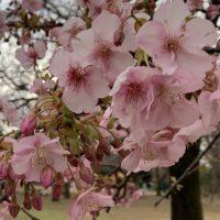 2020河津桜